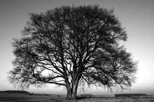 Picture of Beech Tree